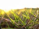Kiełkująca trawa
