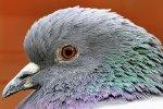 główka gołębia